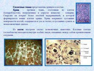 Скелетные ткани представлены хрящем и костью. Хрящ – прочная ткань, состоящ