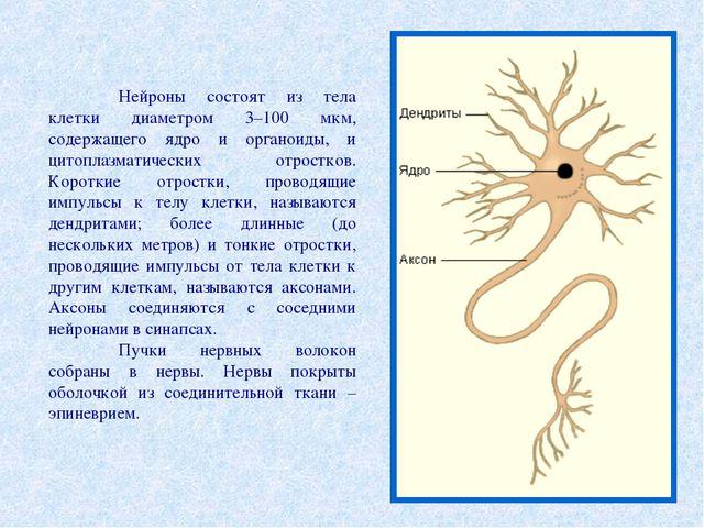 Нейроны состоят из тела клетки диаметром 3–100 мкм, содержащего ядро и орган...