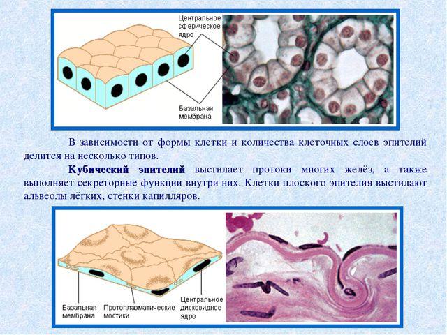 В зависимости от формы клетки и количества клеточных слоев эпителий делится...