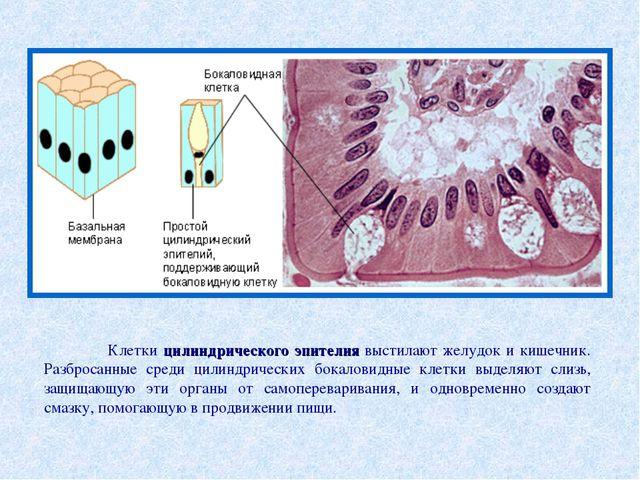 Клетки цилиндрического эпителия выстилают желудок и кишечник. Разбросанные с...