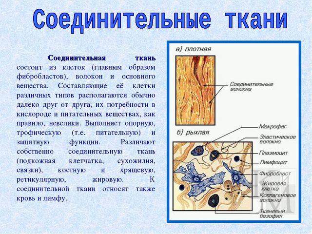Соединительная ткань состоит из клеток (главным образом фибробластов), волок...