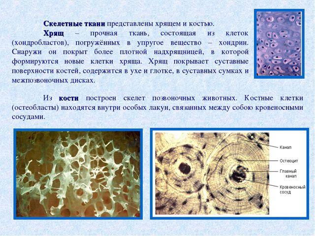 Скелетные ткани представлены хрящем и костью. Хрящ – прочная ткань, состоящ...