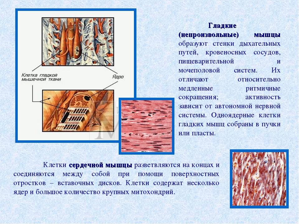 Гладкие (непроизвольные) мышцы образуют стенки дыхательных путей, кровеносны...