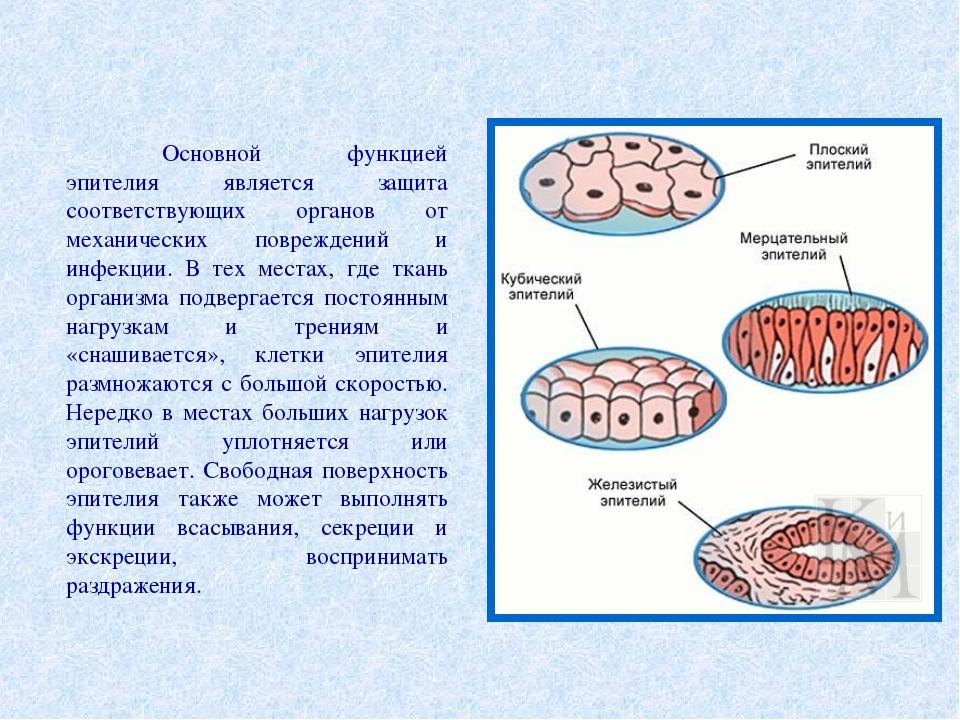 Основной функцией эпителия является защита соответствующих органов от механи...