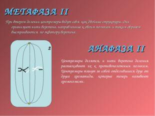 МЕТАФАЗА II При втором делении центромеры ведут себя как двойные структуры. О