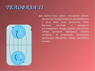 ТЕЛОФАЗА II Эта стадия очень сходна с телофазой митоза. Хромосомы деспирализу