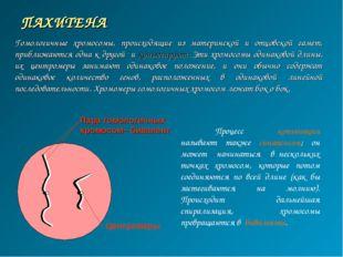ПАХИТЕНА Пара гомологичных хромосом– бивалент Центромеры Гомологичные хромосо