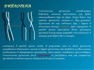 ДИПЛОТЕНА Гомологичные хромосомы, составляющие бивалент, частично отделяются,