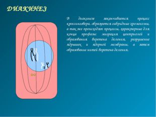 ДИАКИНЕЗ В диакинезе заканчивается процесс кроссинговера, образуются гибридны