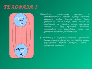ТЕЛОФАЗА I Расхождение гомологичных хромосом к противоположным полюсам клетки