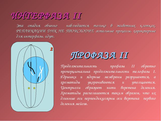ИНТЕРФАЗА II Эта стадия обычно наблюдается только в животных клетках. РЕПЛИКА...