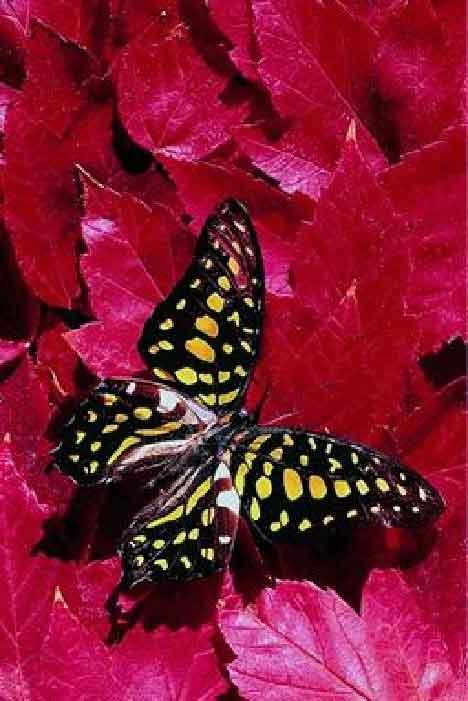 borboleta6