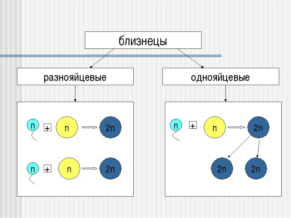 близнецы однояйцевые разнояйцевые n n n 2n 2n n + + n + n 2n 2n 2n