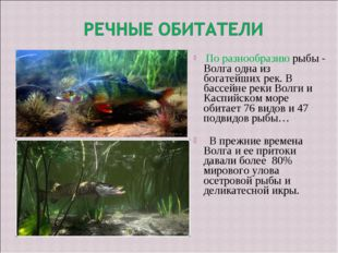 По разнообразию рыбы - Волга одна из богатейших рек. В бассейне реки Волги и