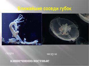 Ближайшие соседи губок гидра медуза кишечнополостные