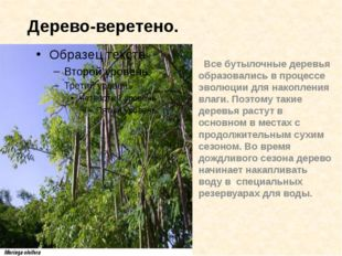 Все бутылочные деревья образовались в процессе эволюции для накопления влаги