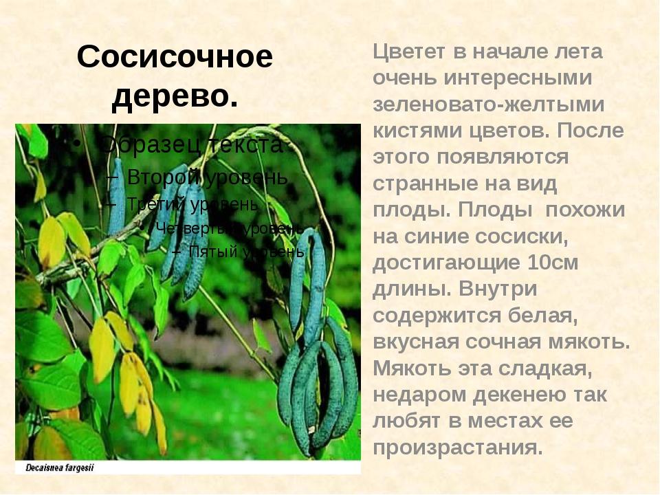 Цветет в начале лета очень интересными зеленовато-желтыми кистями цветов. Пос...