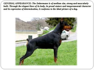 GENERAL APPEARANCE: The Dobermann is of medium size, strong and muscularly bu