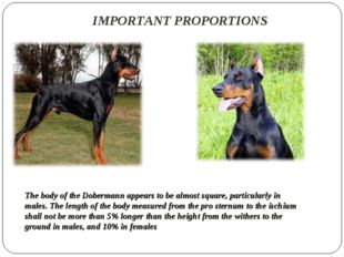 IMPORTANT PROPORTIONS The body of the Dobermann appears to be almost square,