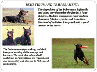 BEHAVIOUR AND TEMPERAMENT: The disposition of the Dobermann is friendly and c