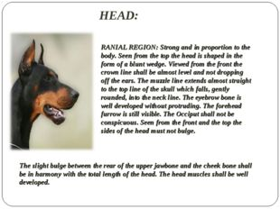 HEAD:  RANIAL REGION: Strong and in proportion to the body. Seen from the top