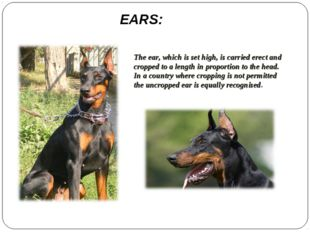 EARS: The ear, which is set high, is carried erect and cropped to a length in