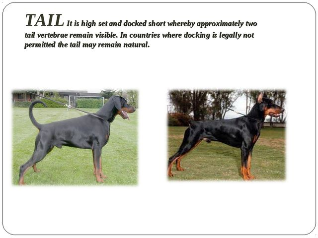 TAIL It is high set and docked short whereby approximately two tail vertebrae...