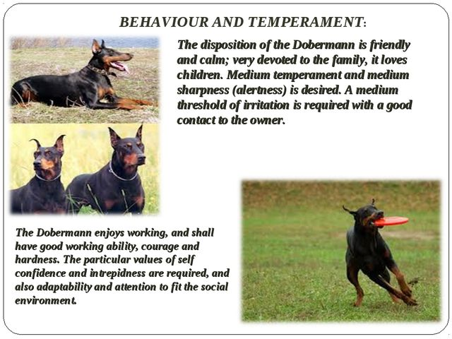 BEHAVIOUR AND TEMPERAMENT: The disposition of the Dobermann is friendly and c...