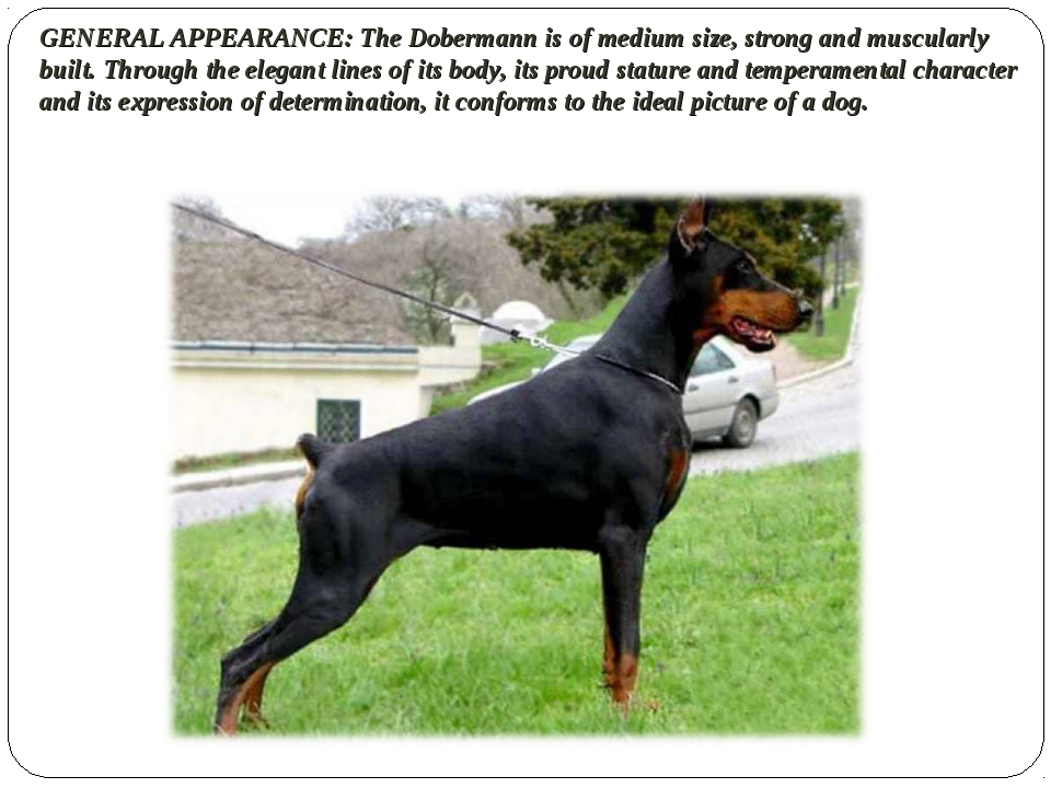 GENERAL APPEARANCE: The Dobermann is of medium size, strong and muscularly bu...