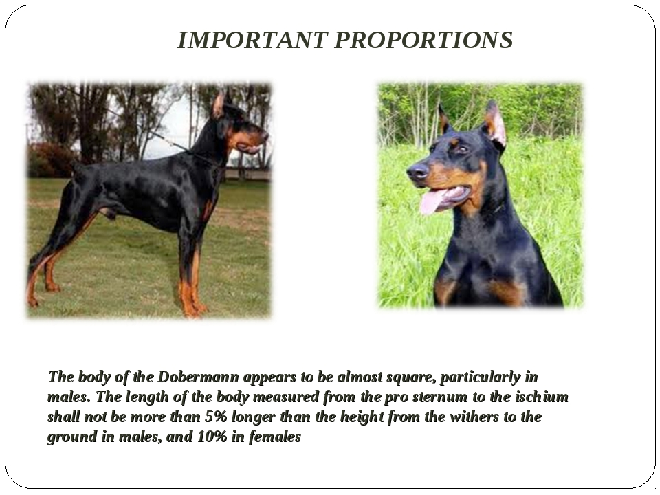 IMPORTANT PROPORTIONS The body of the Dobermann appears to be almost square,...