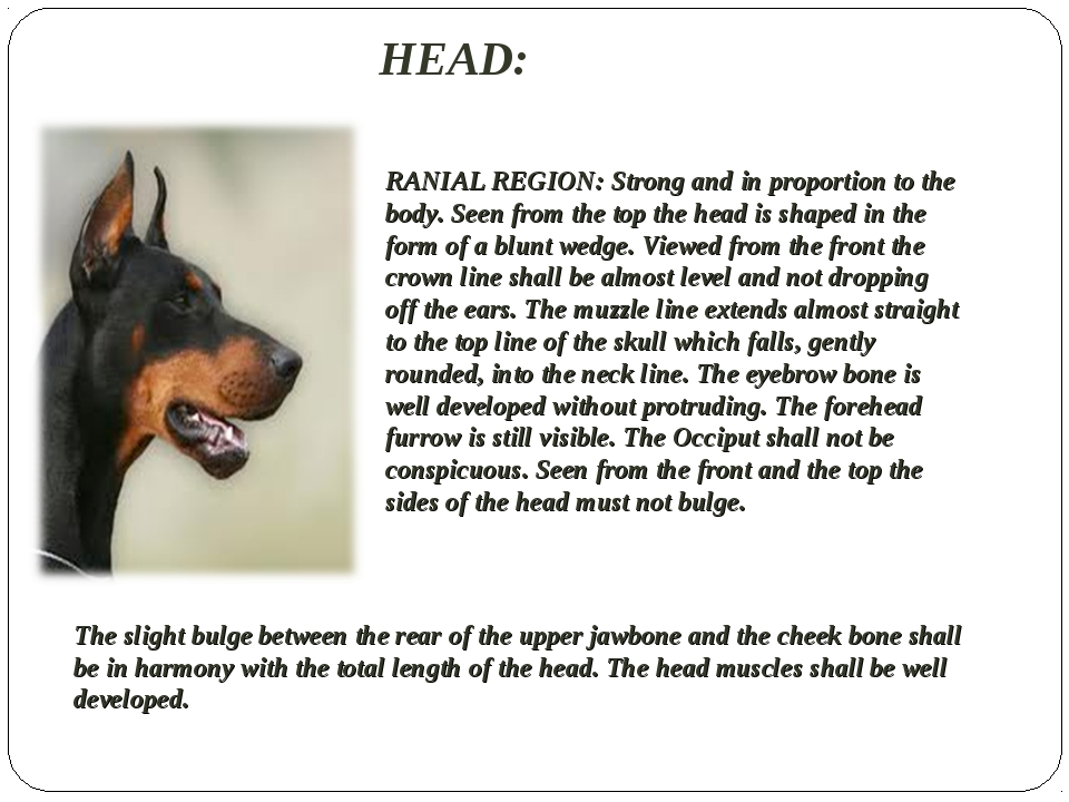 HEAD:  RANIAL REGION: Strong and in proportion to the body. Seen from the top...