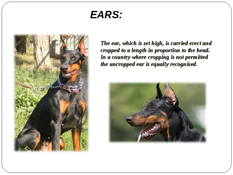 EARS: The ear, which is set high, is carried erect and cropped to a length in...