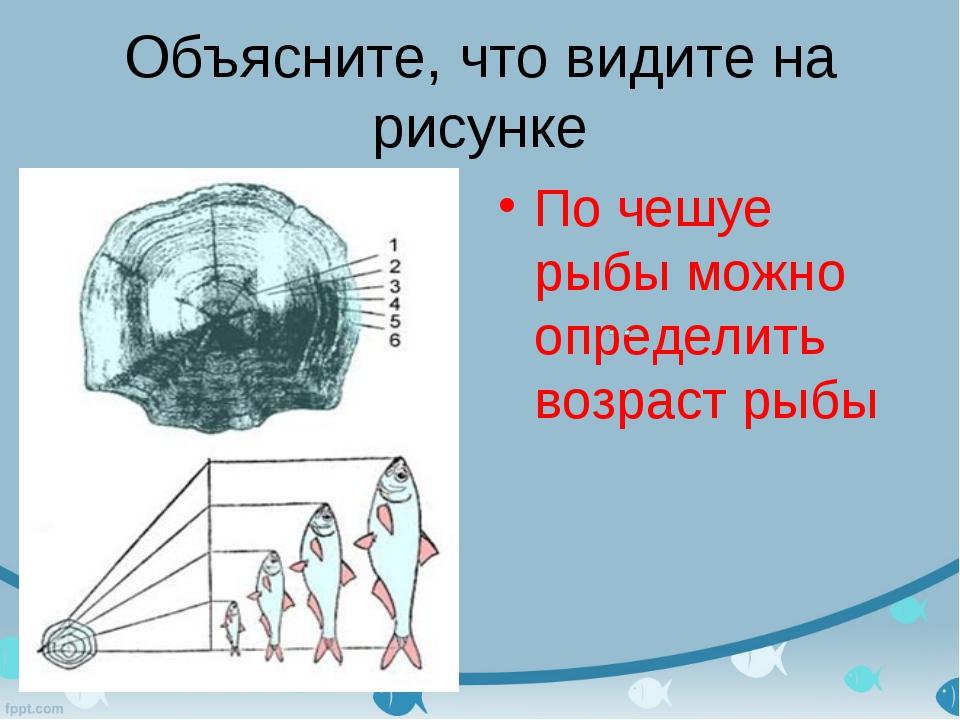 Объясните, что видите на рисунке По чешуе рыбы можно определить возраст рыбы