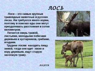 ЛОСЬ Лоси – это самые крупные травоядные животные в русских лесах. Им требует