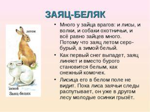 ЗАЯЦ-БЕЛЯК Много у зайца врагов: и лисы, и волки, и собаки охотничьи, и всё р