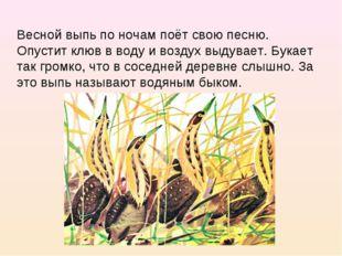 Весной выпь по ночам поёт свою песню. Опустит клюв в воду и воздух выдувает.