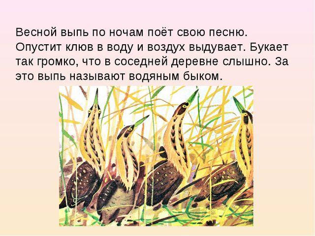 Весной выпь по ночам поёт свою песню. Опустит клюв в воду и воздух выдувает....