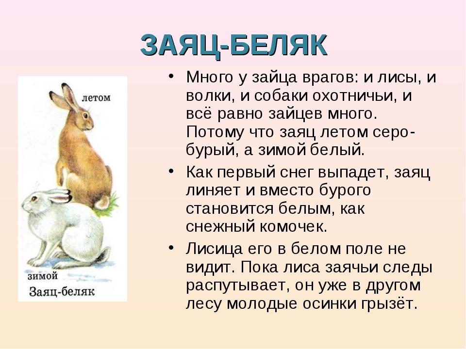 ЗАЯЦ-БЕЛЯК Много у зайца врагов: и лисы, и волки, и собаки охотничьи, и всё р...