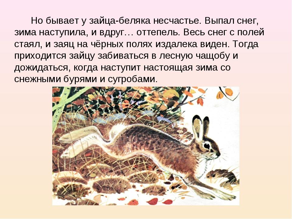 Но бывает у зайца-беляка несчастье. Выпал снег, зима наступила, и вдруг… отт...