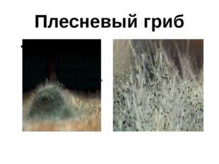 Плесневый гриб
