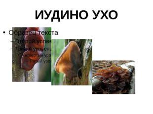 ИУДИНО УХО