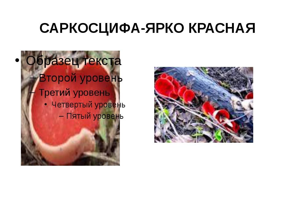 САРКОСЦИФА-ЯРКО КРАСНАЯ