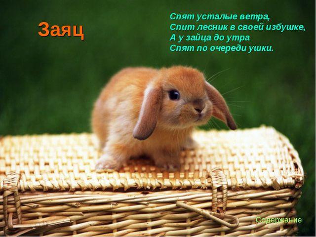 Заяц Спят усталые ветра, Спит лесник в своей избушке, А у зайца до утра Спят...