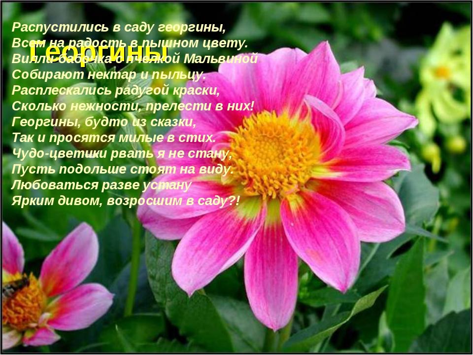Георгины Распустились в саду георгины, Всем на радость в пышном цвету. Вилли-...
