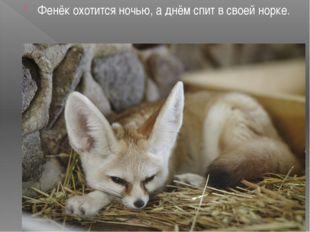 Фенёк охотится ночью, а днём спит в своей норке.