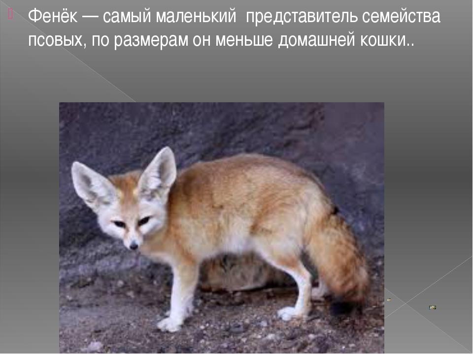Фенёк — самый маленький представитель семейства псовых, по размерам он меньше...