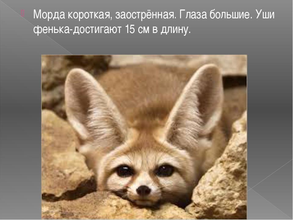 Морда короткая, заострённая. Глаза большие. Уши фенька-достигают 15 см в дли...