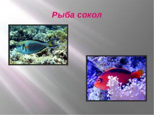 Рыба сокол