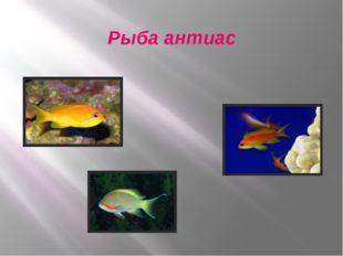 Рыба антиас