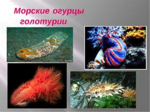 Морские огурцы голотурии